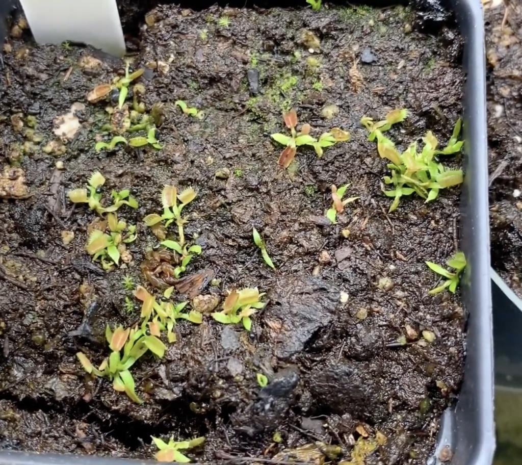 Venus Fly Trap Seedlings
