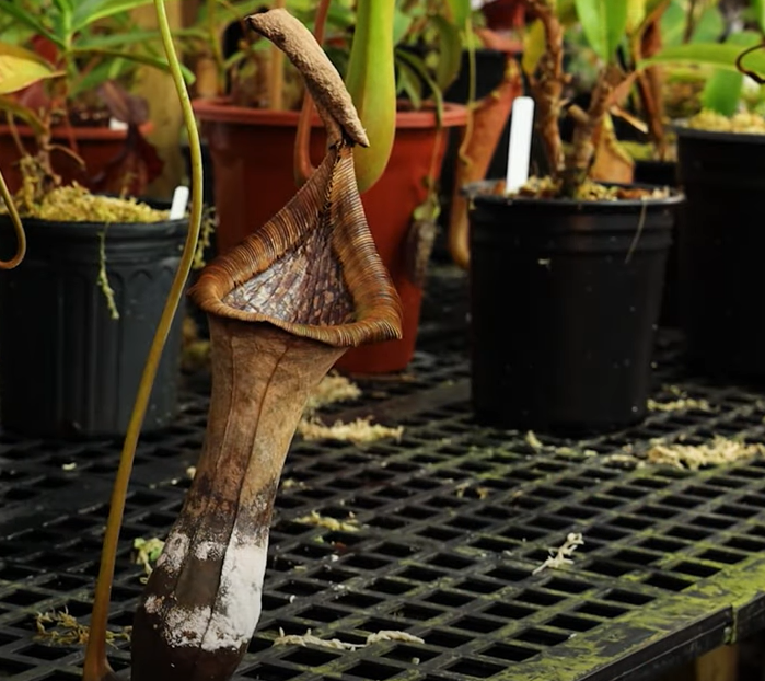 dying pitcher plant
