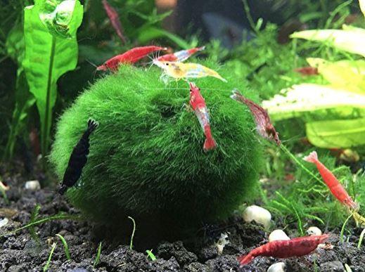 marimo moss ball with shrimp