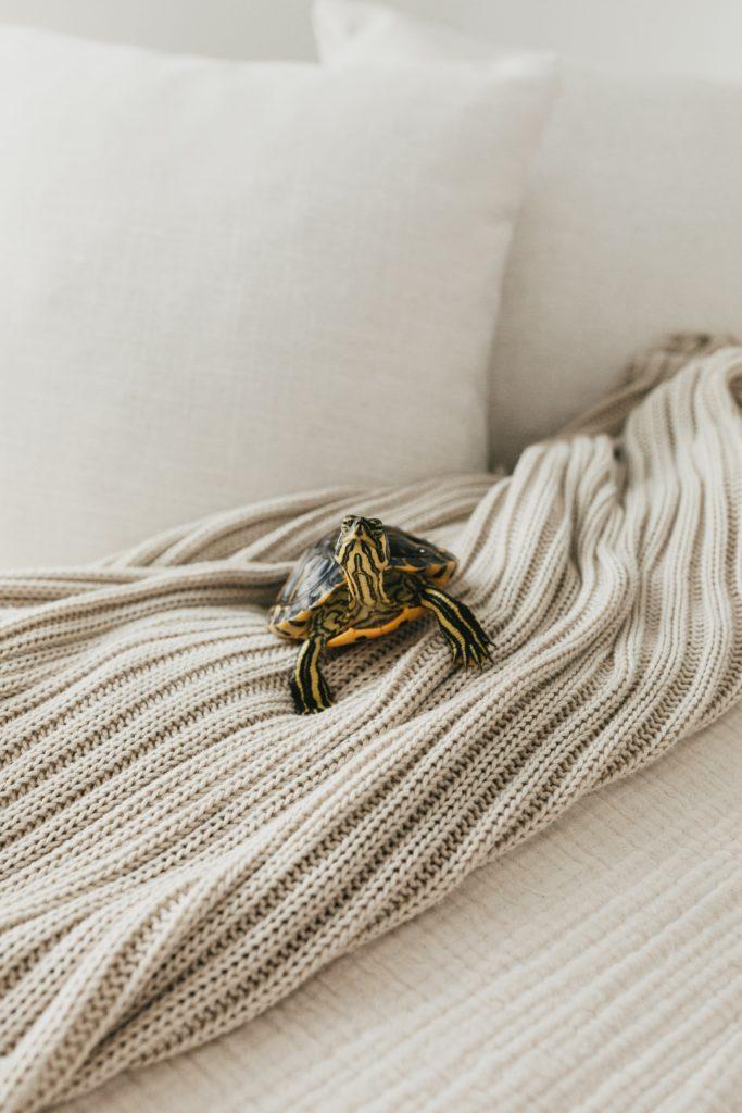 box turtle as pet